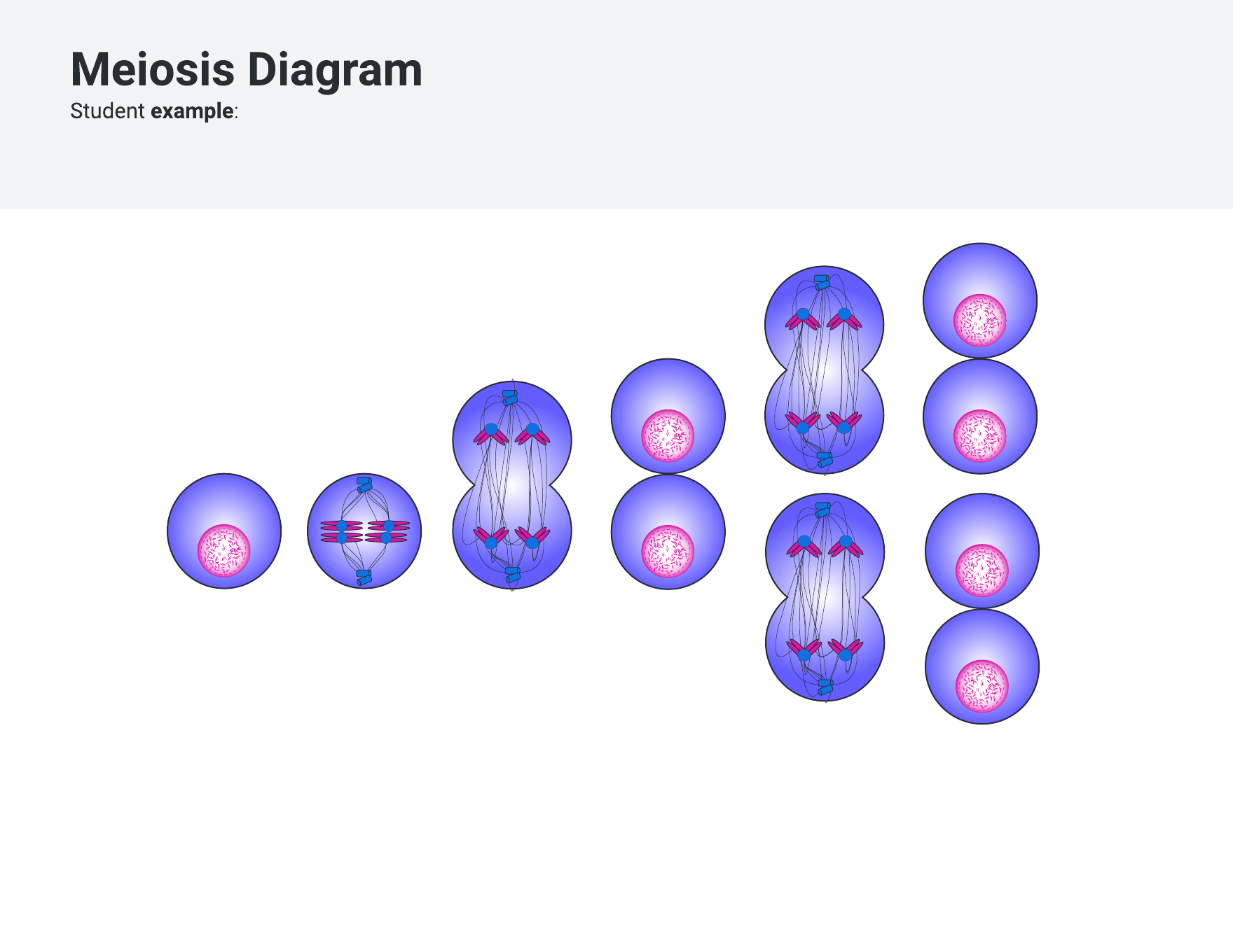 Meiosis diagram