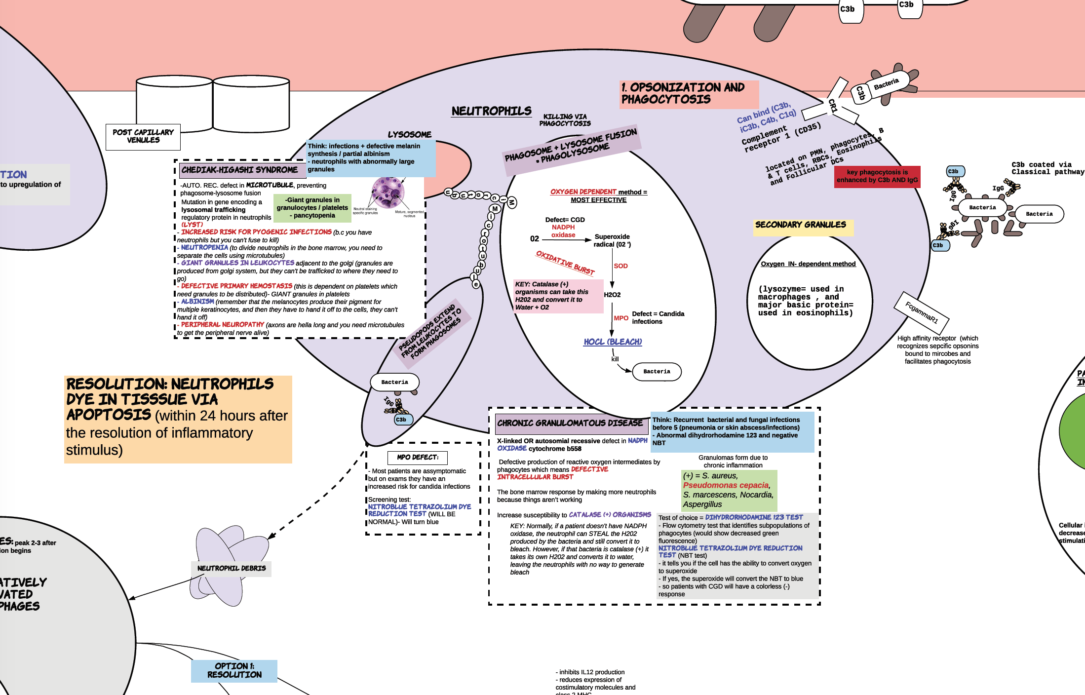 neutrophils in concept map